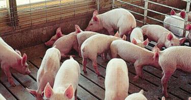 090424_swine1